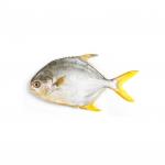 Ikan Bawal Emas